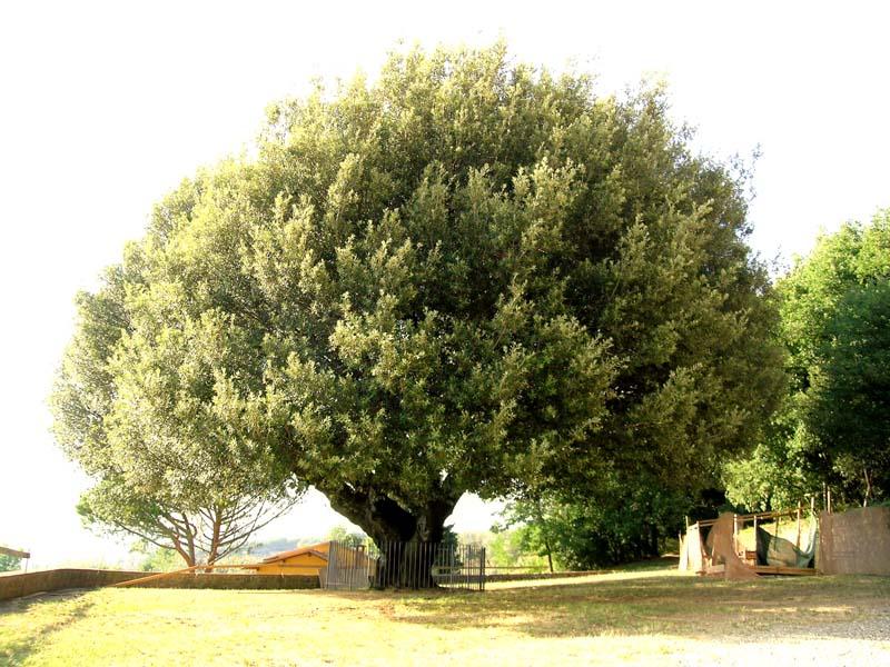 Il leccio for Quercia sempreverde