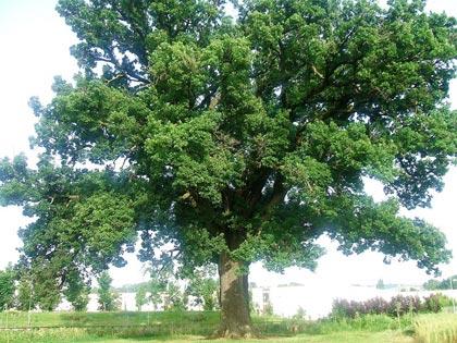 La roverella for Alberi simili alle querce