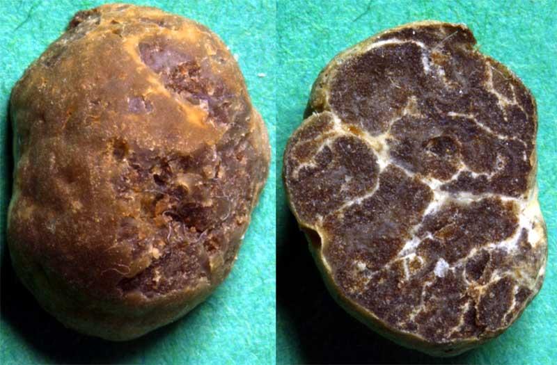 Tuber Maculatum