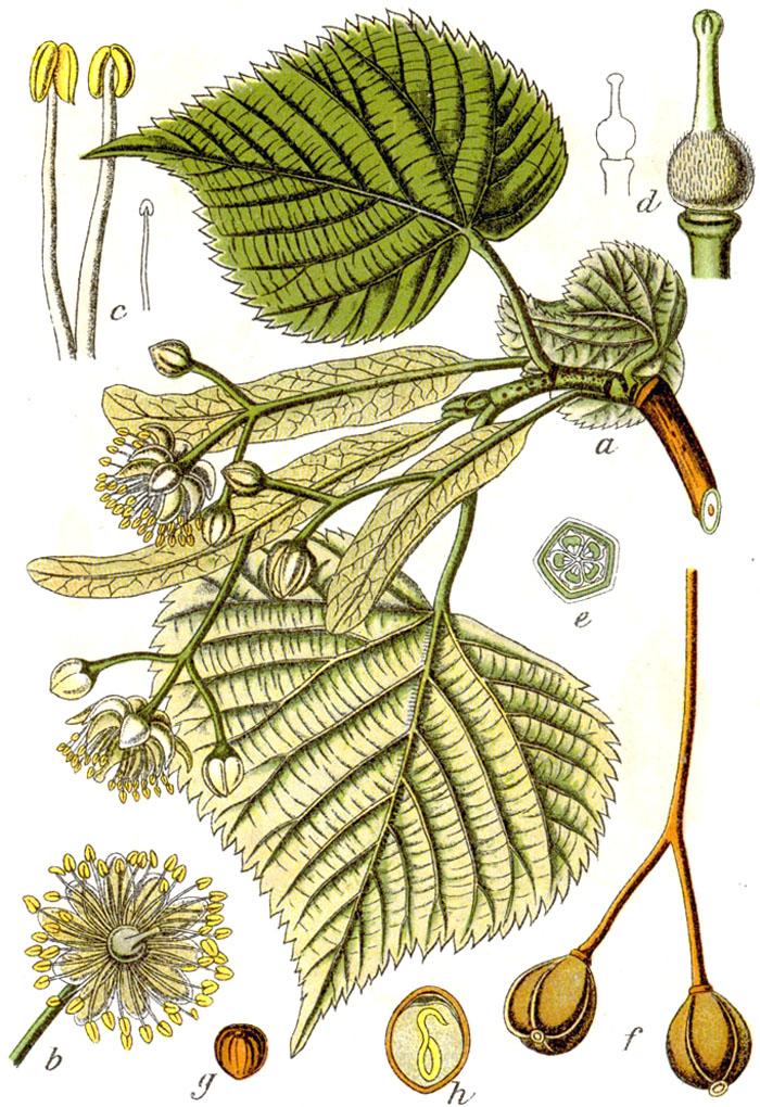 Il tiglio nostrano tilia platyphyllos www for Tiglio albero