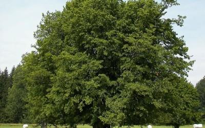 carpino bianco
