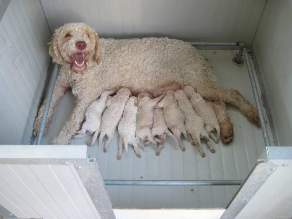 Quanto costa un cane da tartufi