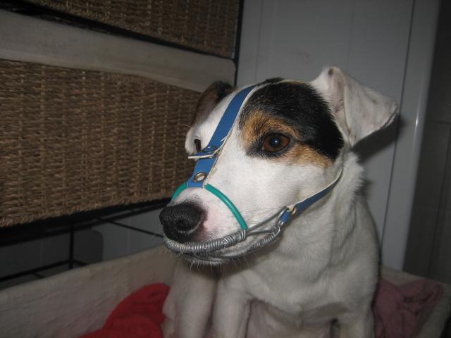 cane alla museruola