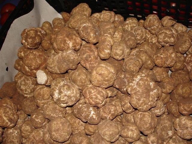 Terfezie spacciate per tartufi bianchetti