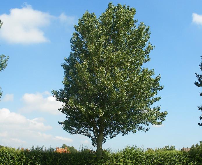 il pioppo bianco populus alba