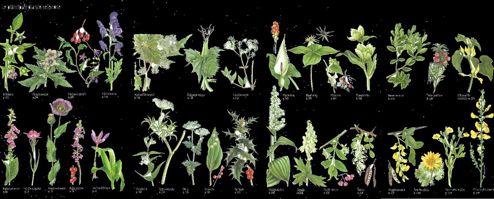 Piante Aromatiche Perenni Elenco : Le piante selvatiche tossiche per il cane
