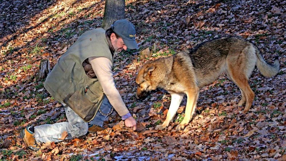 Kira il lupo da tartufi