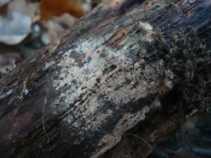 Funghi come piante comari