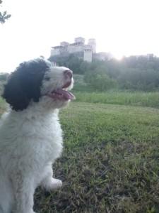cucciolo-di-lagotto-da-tartufi-angelo-martinelli