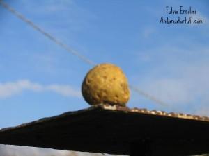 foto-di-fulvio-ercolini-tuber-magnatum-pico
