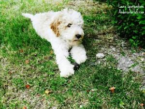 foto-di-laura-sparpaglione-cucciolo-di-lagotto-romagnolo