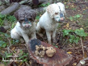 foto-di-lauro-dinim-lagotti-romagnoli-e-tartufi-bianchi