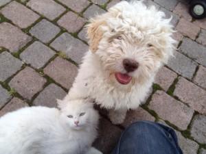 lagotto-romagnolo-bianco-e-gatto-bianco-ivan-gnan