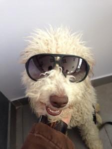 lagotto-romagnolo-da-tartufi-bianco-con-occhiali-tarquini-andrea