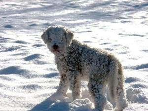 lagotto-romagnolo-da-tartufi-nella-neve-roberto-ferretti