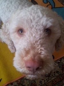 lagotto-romagnolo-da-tartufi-supplichevole