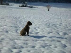 lagotto-romagnolo-da-tartufo-nella-neve-antonio-babino