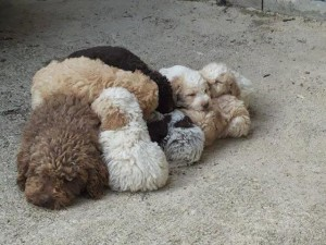 cuccioli-lagotto-romagnolo-da-tartufi-antonio-pagliaroli