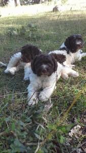 cuccioli-di-lagotto-romagnolo-da-tartufi-antonio-babino