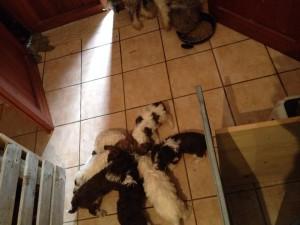 cuccioli-di-lagotto-romagnolo-da-tartufi-mangiano-antonio-mercogliano