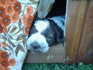 cucciolo-di-lagotto-daniele-giustini