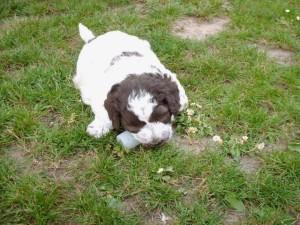 cucciolo-di-lagotto-romagnolo-daniele-giustini