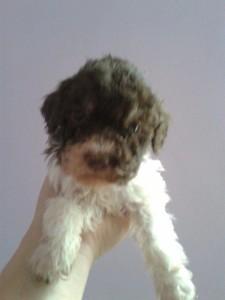 cucciolo-di-lagotto-romagnolo-federico-de-paoli