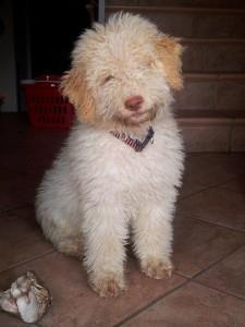 cucciolo-di-lagotto-romagnolo-da-tartufi