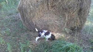 cucciolo-di-lagotto-romagnolo-da-tartufi-antonio-babino