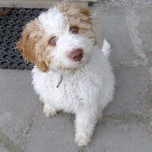 cucciolo-di-lagotto-romagnolo-da-tartufi-patrizia-pifferi