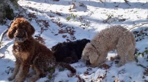 lagotti-romagnoli-nella-neve-pasquale-lacerra