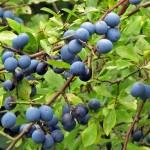 prugnolo-selvatico-frutti-3-1