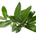 foglie-di-olivo-649x487