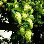 hops-2698297_1920