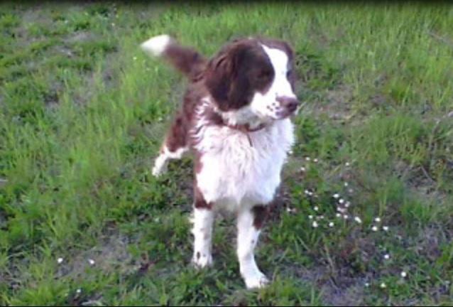 Alla scoperta del cane riccio Sanminiatese