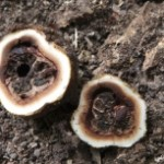 elaphomyces-cervinus-il-tartufo-dei-cervi5