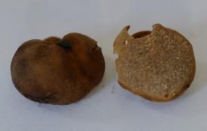 tuber-foetidum