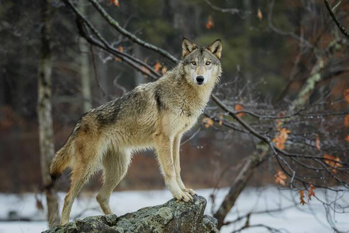 i tartufai e l'atavica paura dei lupi
