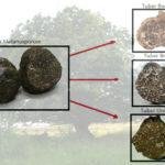 I tartufi che possono condividere gli stessi habitat