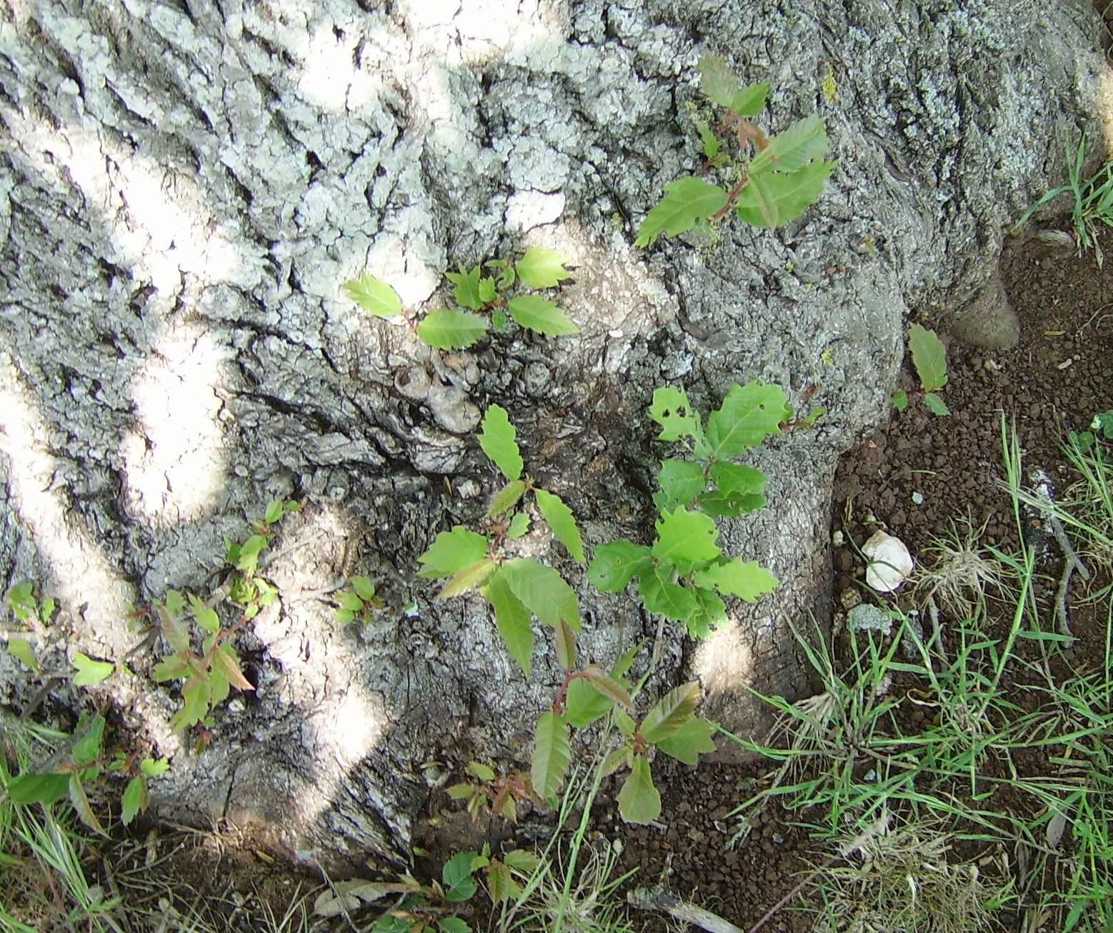 Periodo Migliore Per Potare Quercia innesto di castagno su quercia per una tartufaia multi