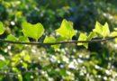 L'importante funzione dell'edera – Tartufi e ambiente