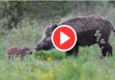 Video documentari sulla fauna selvatica