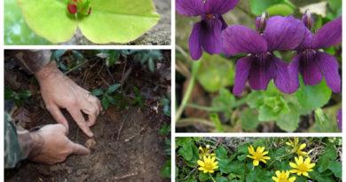 Le erbe selvatiche  delle tartufaie di Magnatum Pico