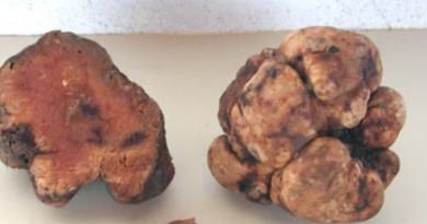 Choiromyces meandriformis: il sosia del tartufo bianco