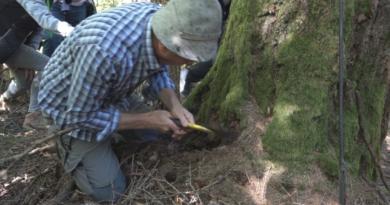 La raccolta della resina degli alberi simbionti