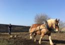 La trazione animale in tartuficoltura