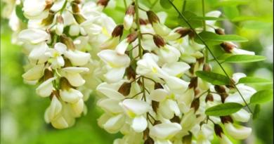 Confettura con fiori di Acacia  e tartufo Scorzone