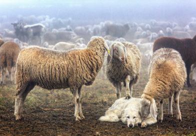 Tartufai  denunciano l'aumento dei cani da pastore nelle prossimità dei boschi